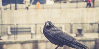 raven sitting on a stone. focus on head.